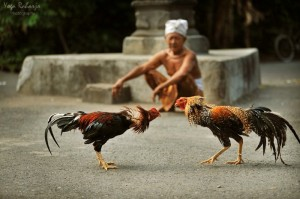 cockfighting3