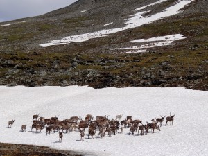 A small group of reindeer http://en.wikipedia.org/wiki/File:Reindeer-on-the-rocks.jpg