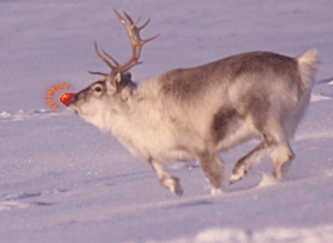 Real rudolph the red nosed reindeer flying - photo#2
